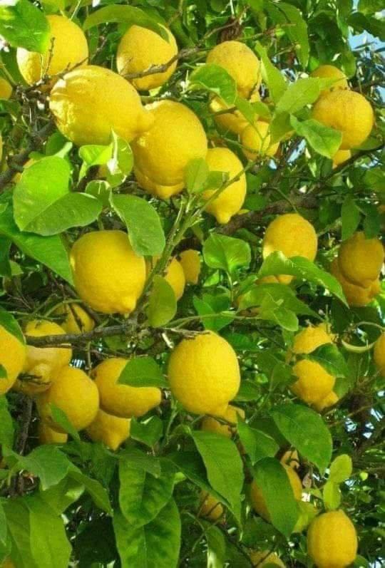 citron est un aliment acide riche en vitamine C